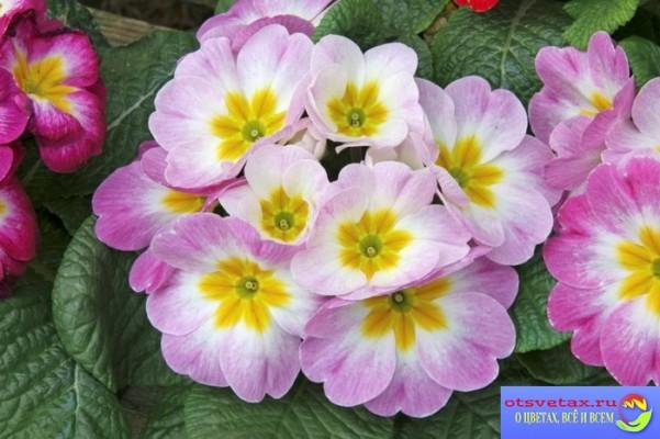 примула комнатная уход в домашних условиях когда цветет