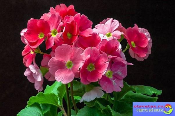 уход за комнатной примулой обконика цветение