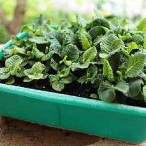 Примула: выращивание из семян в домашних условиях как и когда сеять