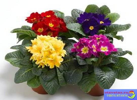 примула цветок комнатный уход в домашних условиях фото
