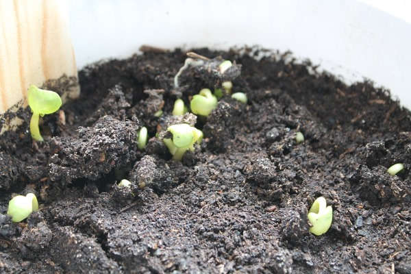 выращивание рассады циний