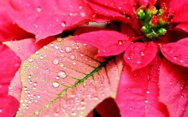 цветы пуансетия уход в домашних условиях