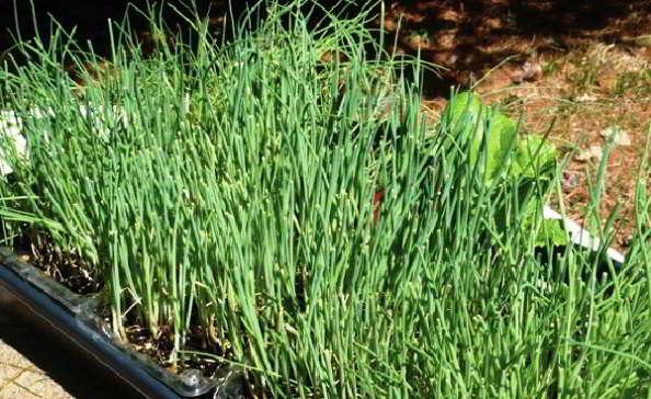 рассада лука порея выращивание