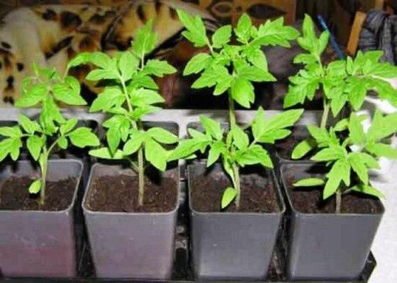 посев семян томатов на рассаду в 2018 году по лунному календарю
