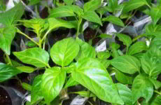 Как вырастить крепкую и здоровую рассаду перца в домашних условиях
