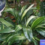 аспидистра фото растения