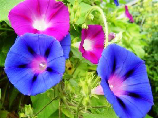 ипомея пурпурная райские звезды