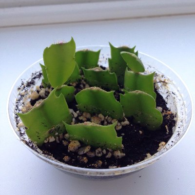 кактус декабрист размножение