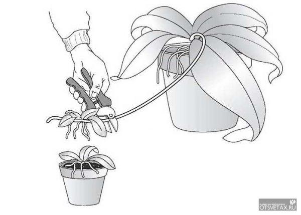 как размножить орхидею в домашних условиях отводками