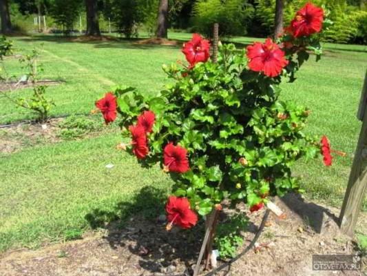 гибискус садовый уход размножение