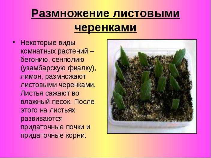 размножение растения листом
