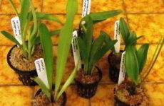 Способы и правила размножения орхидеи