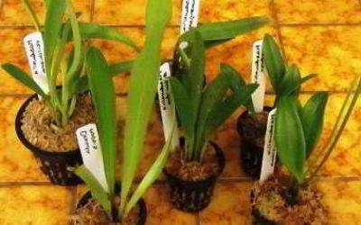 как размножить орхидею в домашних условиях от корней видео