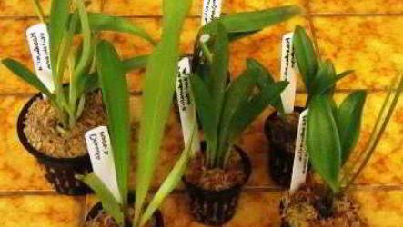 Способы размножения орхидей в домашних условиях