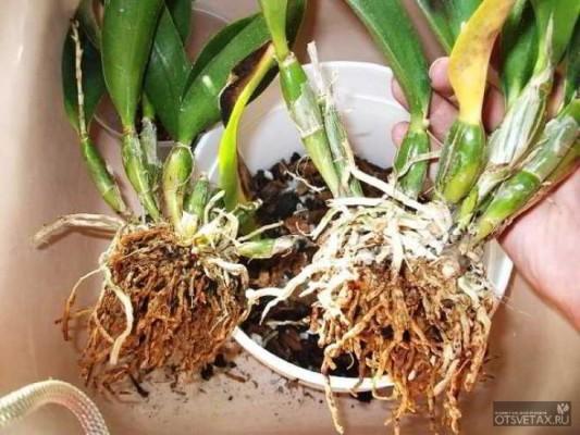 как размножить орхидею в домашних условиях видео