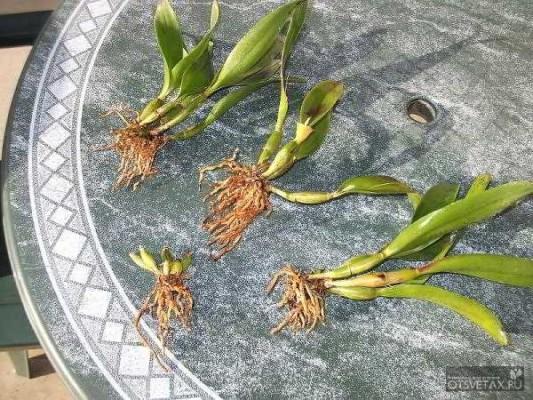 как размножить орхидею в домашних условиях черенками видео