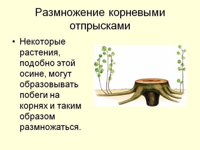 размножение растения отпрысками