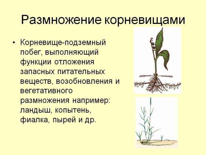 размножение растений корневищами