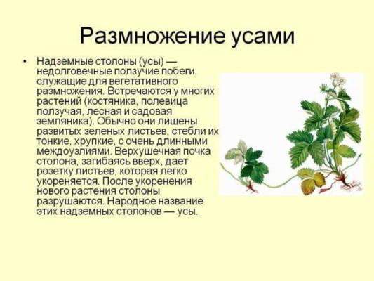 размножение растения усами
