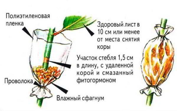 юкка размножение в домашних условиях фото пошагово