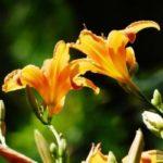 разновидности лилейников фото