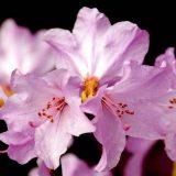 декоративно цветущие комнатные растения фото и названия