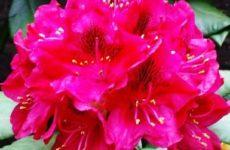 Посадка и уход за садовым рододендроном