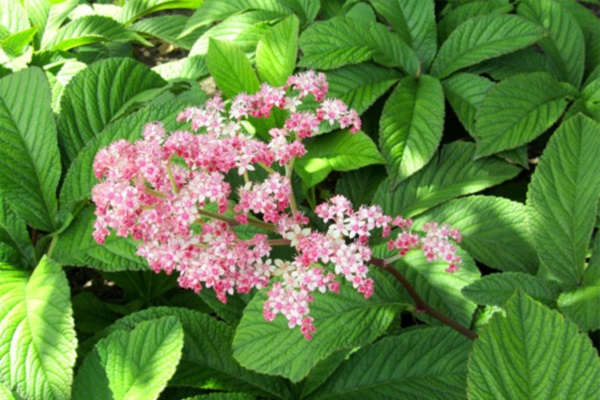 цветок роджерсия посадка и уход в открытом грунте