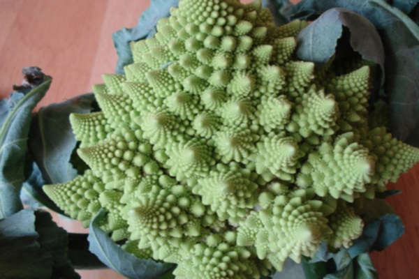 цветная капуста выращивание и уход в открытом грунте в подмосковье