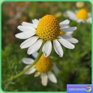 Ромашка: полезные и лечебные свойства, применение