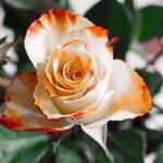 rose-foto
