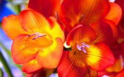 цветок садовый фрезия