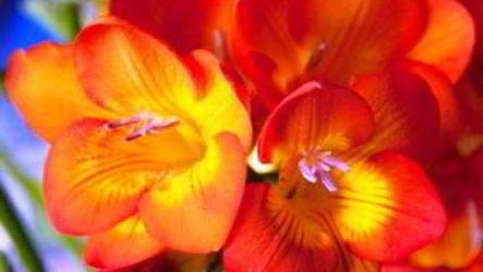 Как посадить и вырастить фрезию в открытом грунте