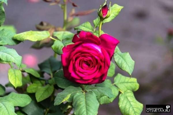уход за розой в горшке в домашних условиях