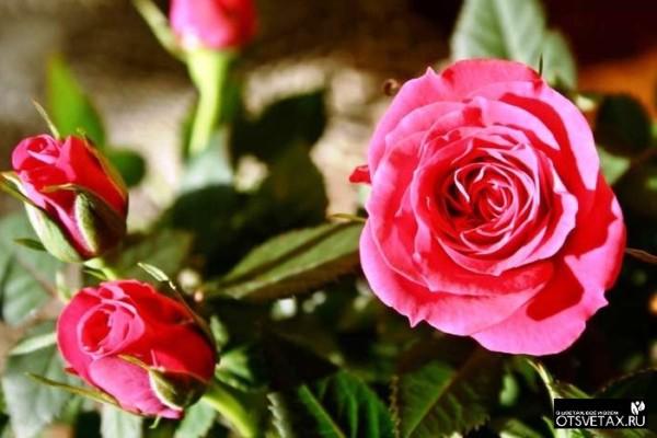 роза в горшке уход в домашних условиях купить