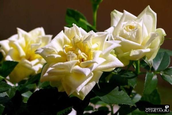 роза в горшке уход в домашних условиях почва
