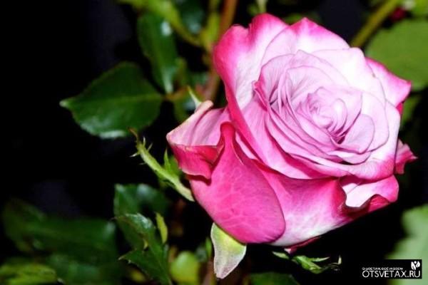 роза в горшке уход в домашних условиях желтеют листья