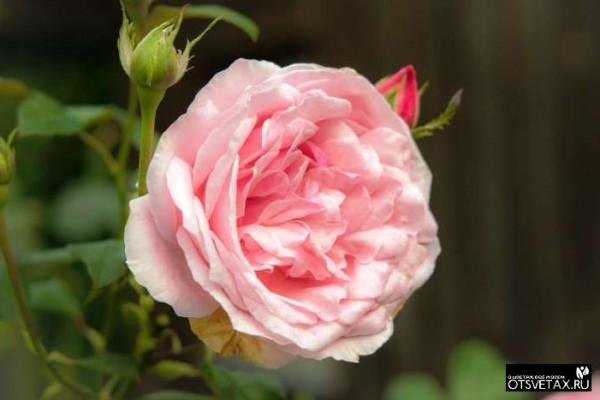 розы в горшке уход в домашних условиях видео
