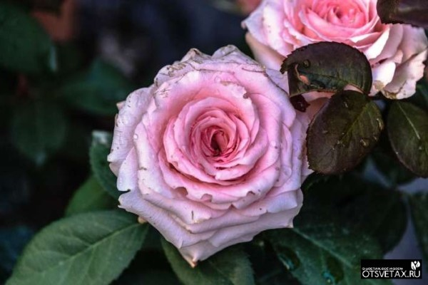 роза в горшке уход в домашних условиях сохнет