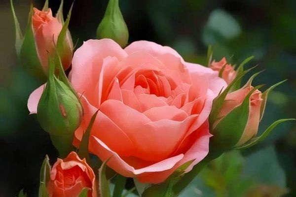 посадка роз осенью с открытой корневой системой в открытый грунт