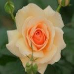 посадка роз осенью с открытой корневой системой в грунт