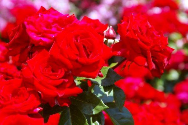 роза цветок уход