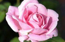 Правильный уход за розой в горшке