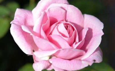 роза в горшке уход в домашних условиях после покупки