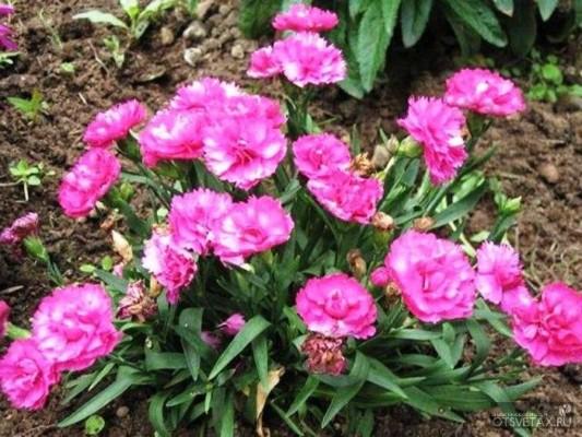 гвоздика садовая многолетняя посадка и уход фото размножение