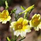 Сальпиглоссис: выращивание рассады из семян фото цветов