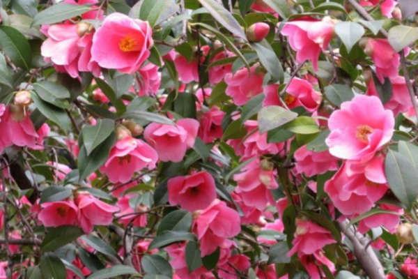 камелия уход и выращивание в домашних условиях размножение