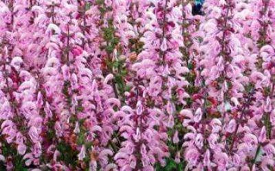 сальвия многолетняя фото цветов рассада когда сажать