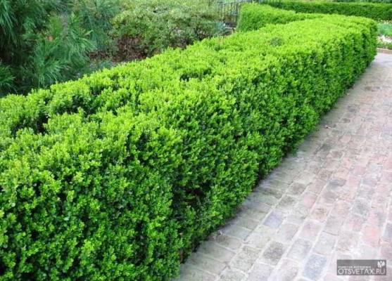 живая изгородь быстрорастущая многолетняя вечнозеленая фото