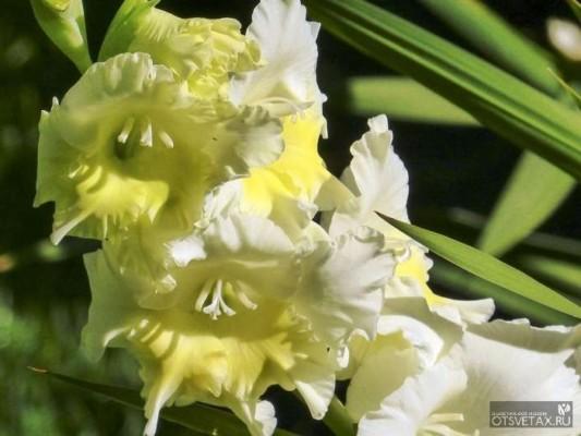 когда высаживать георгины и гладиолусы в открытый грунт весной